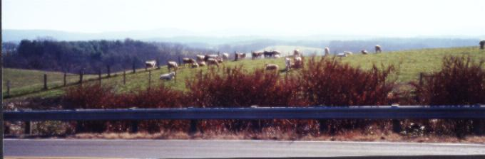 WV Cows Panoramic
