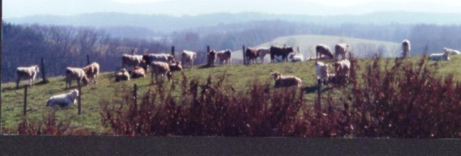 WV Cows Panoramic 2001