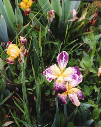 VioletsWV Clickable